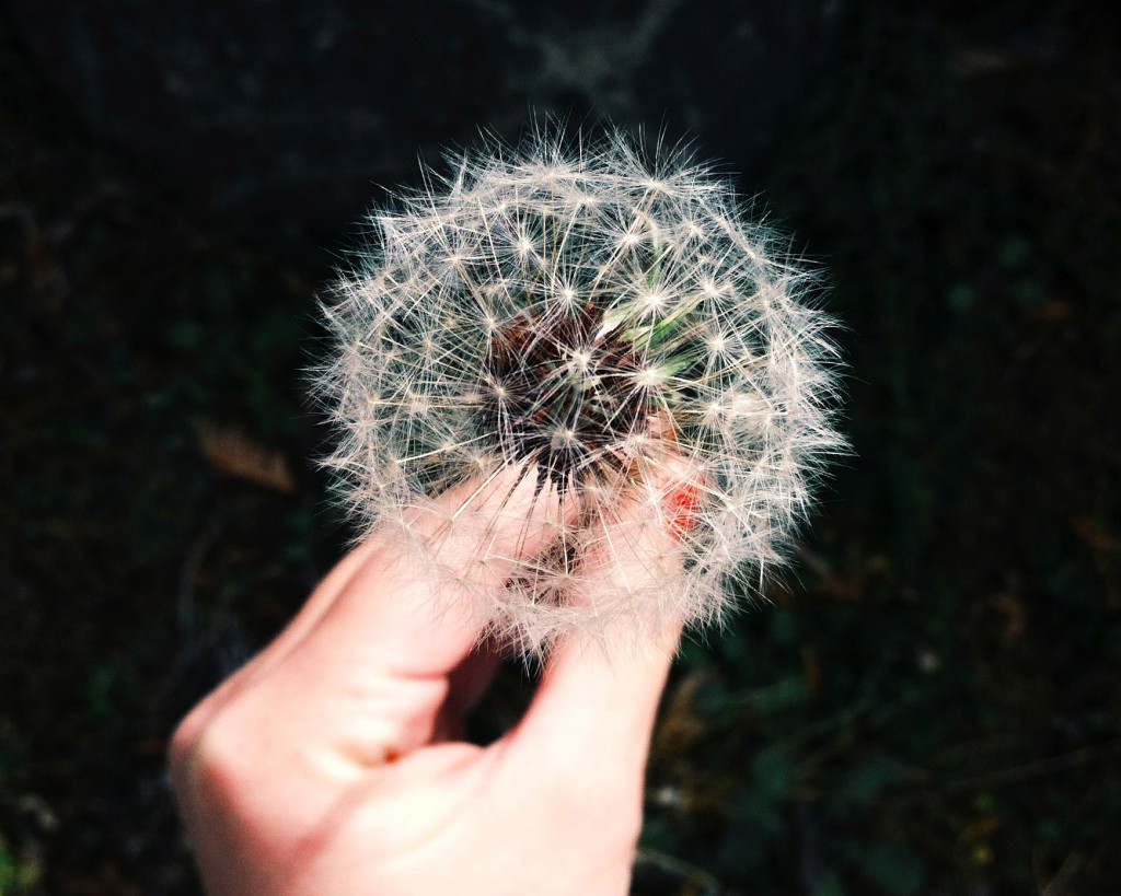 Public Domain Images – Hand Holding A Dandelion On A Dark Background
