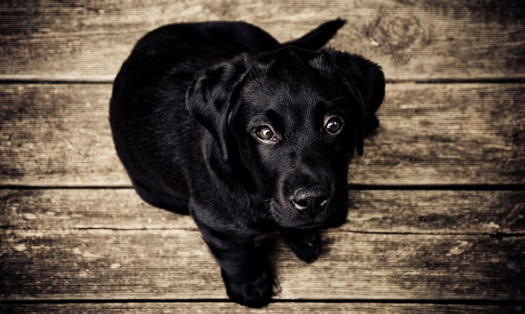 Public Domain Images – Black Lab Puppy on Rustic Wood Background