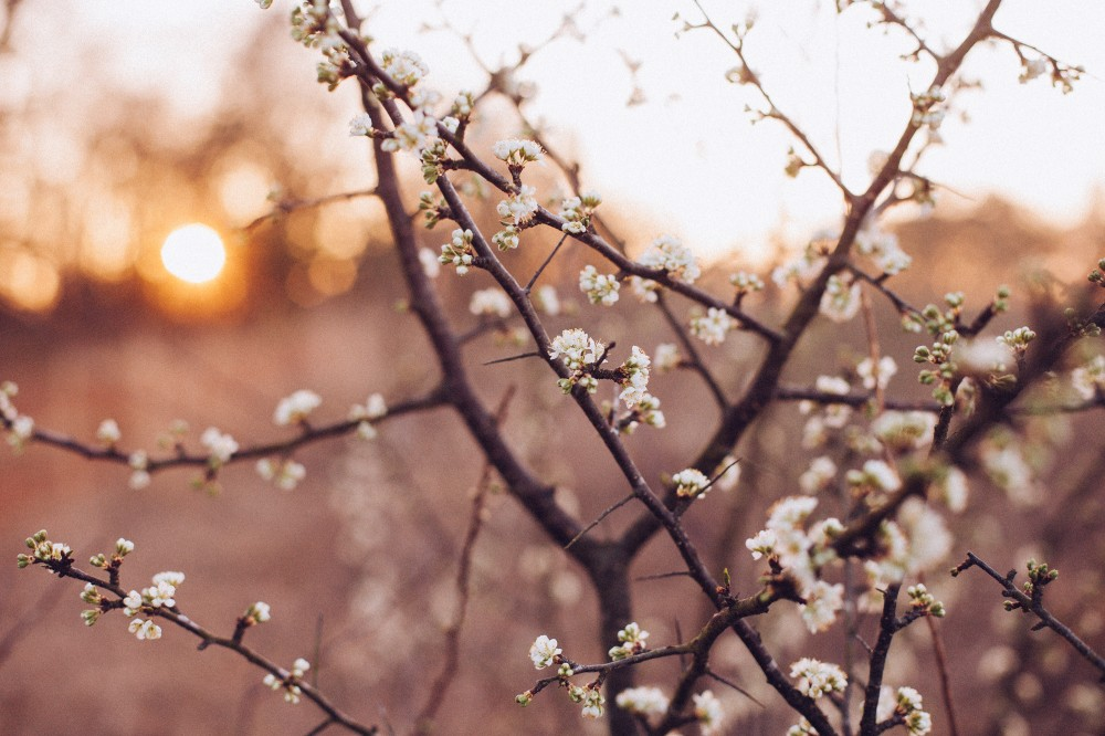 Public Domain Images Free Stock Photos Morning Sun Rise Spring Time White Blossom Branches