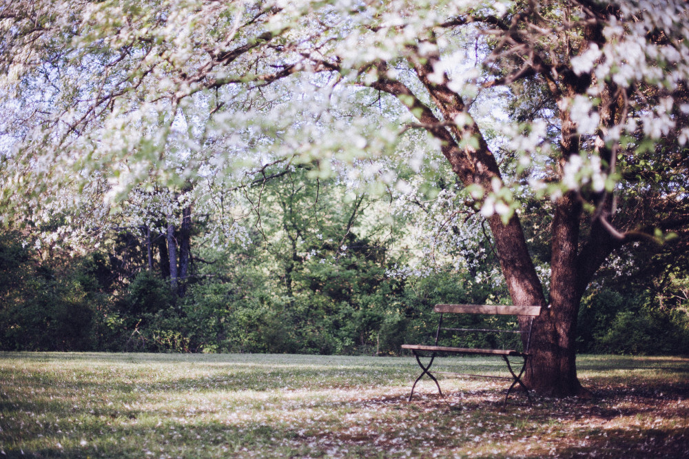 Public Domain Images – Spring Time Tree White Blossoms Wooden Bench Outdoors