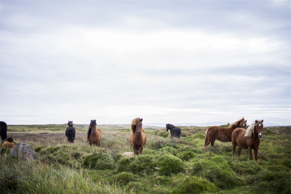 Public Domain Images - Brown Horses Green Field Blue Sky
